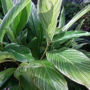 Alpinia formosana foliage