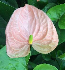 Anthurium Sweet Queen Flower, Anthuriums