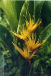 Heliconia psittacorum x spathocircinata Alan Carle