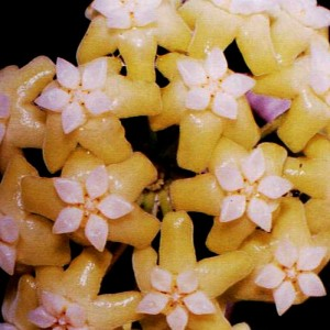 Hoya nicholsoniae