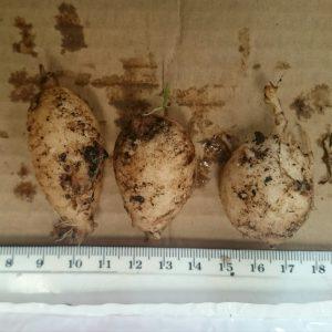 Moringa oleifera bulbs