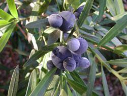 Podocarpus elatus plum pine