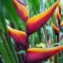 heliconia bihai banana split