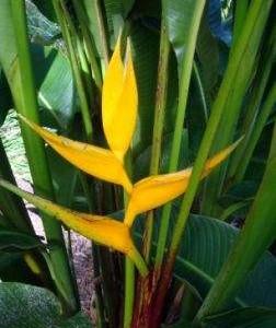 heliconia bihai yellow dancer
