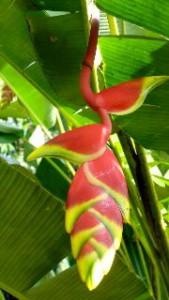 heliconia rostrata misahualli