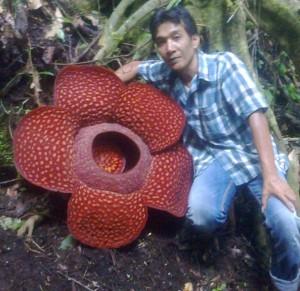 Rafflesia arnoldii Flower
