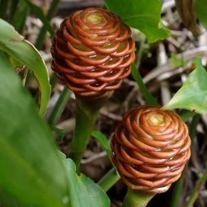 Zingiber spectabile Coffee, Beehive Ginger