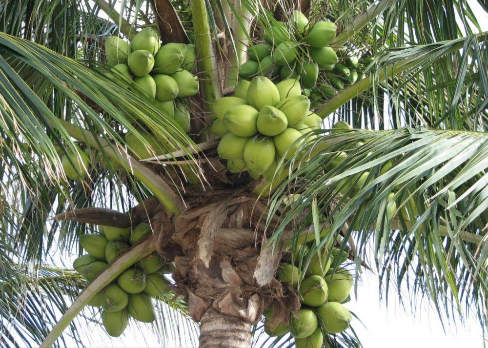 Cocos nucifera 'Dwarf Green'