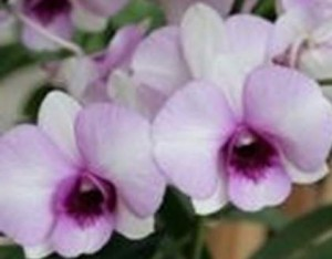 Dendrobium Hidden Money