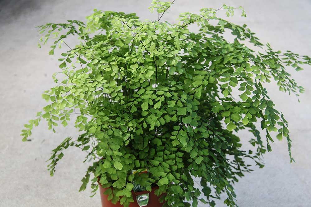 tip of the week focus on maidenhair ferns rare plants