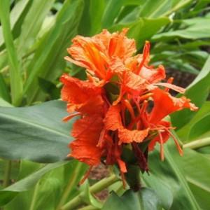 Hedychium greenii