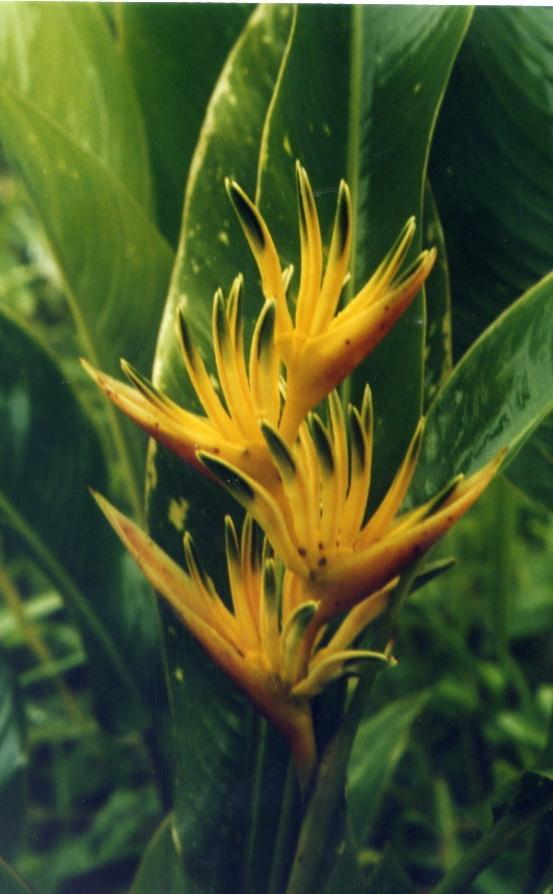 Heliconia psittacorum x spathocircinata 'Alan Carle'