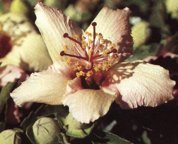 Hibiscus insularis