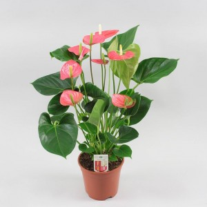 Anthurium Beauty Pink