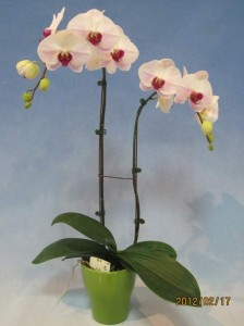 Phalaenopsis Taisuco Noble x Mt Lip