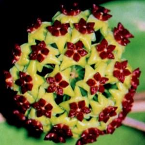 Hoya cinnamomifolia