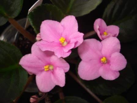 African Violet Jays Flossie