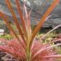 Dracaena marginata 'Colorata'