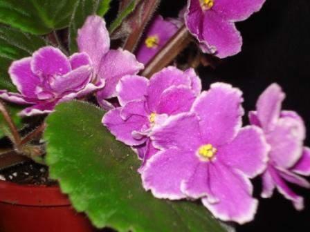African Violet Hallmark