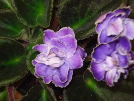 African Violet Opt Trinidad
