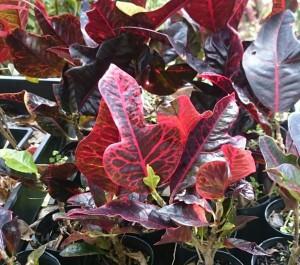 Codiaeum variegatum red