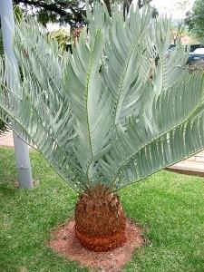 Encephalartos eugene maraisii