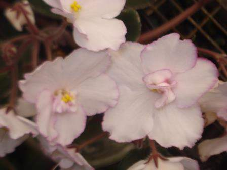 African Violet Integrity
