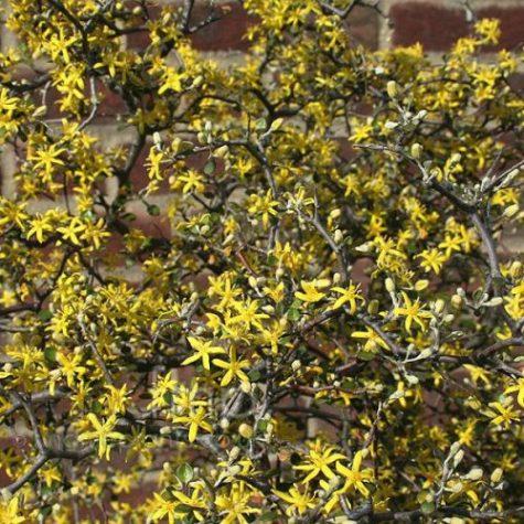 Cotoneaster corokia