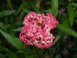 Rondeletia 'Sweet Caprice'