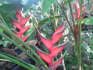 heliconia-bihai-claw-1