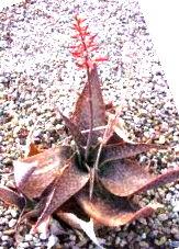 Aloe deltoideodonta