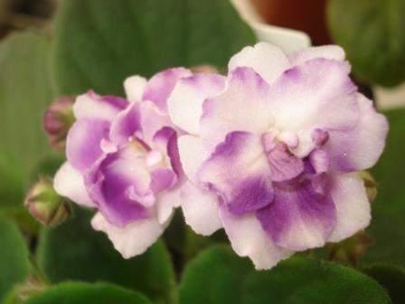 African violet Crystal Gazer