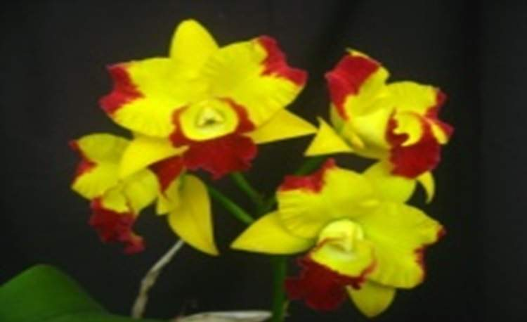 Rth. Chunfong Smile 'Cluster'