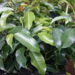 Ficus benjamina 'Midnight Beauty'