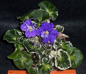 African Violet Harmony