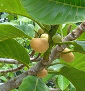 Artocarpus hypargyraeus