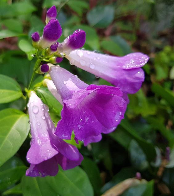 Mansoa alliaceae
