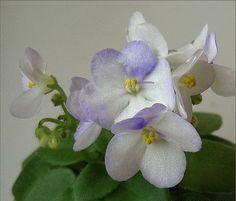 African Violet Childs Play