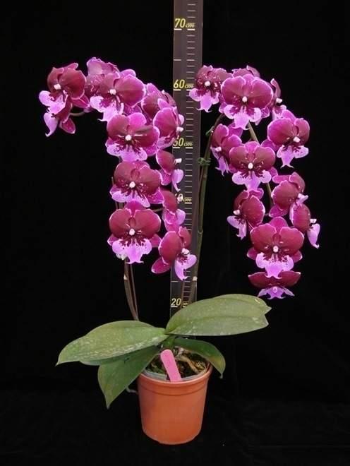 Phalaenopsis Chia Shing Fire Kiss