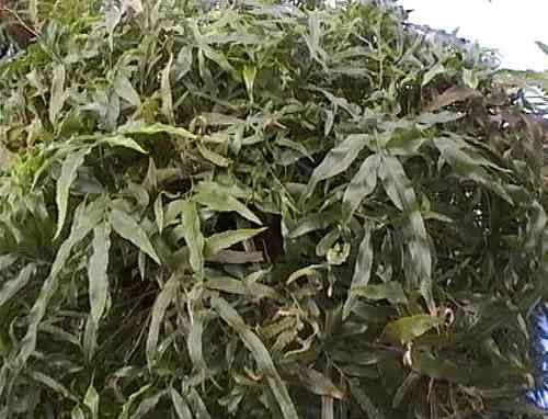 scyphularia pycnocrpa