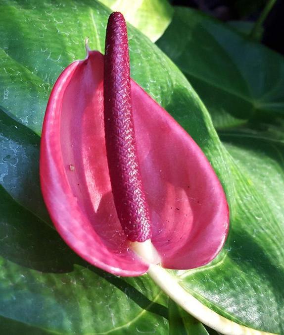 Anthurium Purple