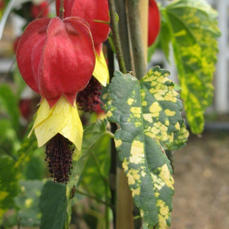 Abutilon megapotamicum variegatum