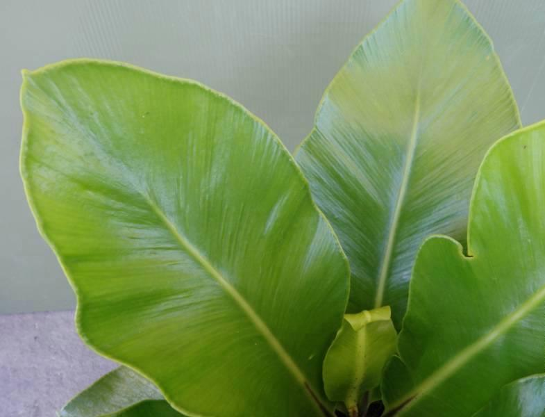 Asplenium australisicum 'Norfolk Gem'