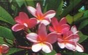 Plumeria rubra f. acutifolia 'Darwin Pink'