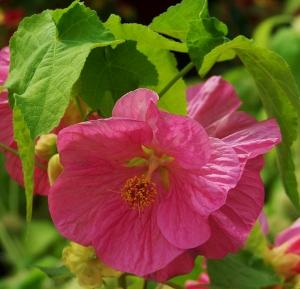 Abutilon hybrida bella pink