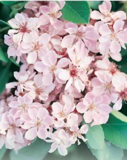 Rhaphiolepis indica Springtime