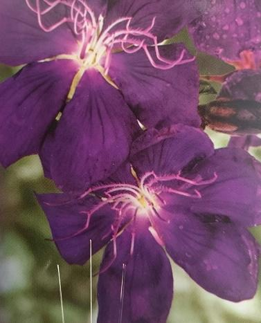 Tibouchina Purple Star