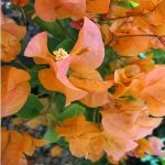 Bougainvillea Hawaiian Gold