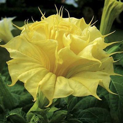 Datura yellow