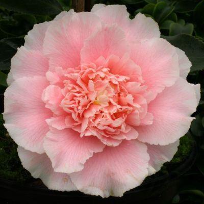 Camellia japonica Elegans Splendor